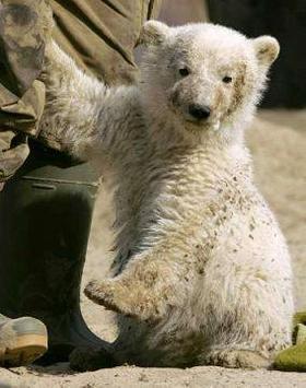 Ecologie: Knut pose sa griffe