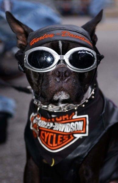 Photo du jour : Faut du chien pour rouler en Harley !!