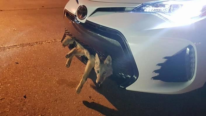 Elle fait 30 km d'autoroute avec un coyote en pleine forme dans son pare-chocs