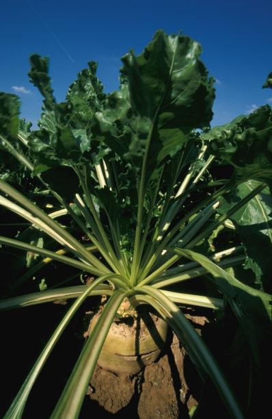 L'éthanol est produit à partir de betteraves ou de cultures céréalières.