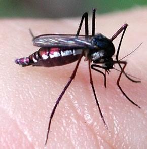 Billet d'humeur : attention aux moustiques !