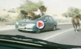 [Vidéo hallucinante ] Un cheval écrase une voiture à Israël
