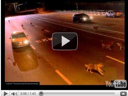 Marketing Viral : les loups russes étaient dopés à la Vodka
