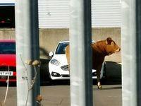 Une vache cause le chaos dans une concession