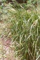 Etude sur le Panicum virgatum : une herbe, graine de star verte pour la production d'éthanol