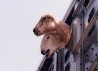 Etudes : les animaux, responsables de pollution !