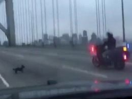 Insolite : un chihuahua fait fermer le Bay Bridge de San Francisco