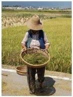 Biocarburant à Taïwan : un procédé permettant de transformer la paille de riz en éthanol cellulosique