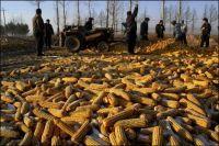 Production d'éthanol aux Etats-Unis : l'écosystème du Golfe du Mexique est menacé