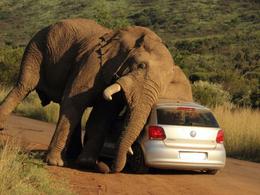 Insolite : deux personnes bloquées en Volkswagen Polo par un éléphant