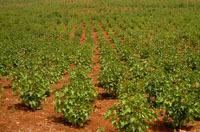 Agrocarburant : D10ils mise sur le jatropha