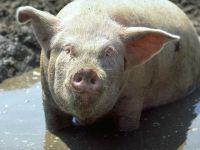 Du lisier de porc pour produire du biocarburant !