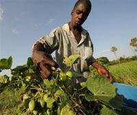 Biocarburants : le Jatropha débarque en Côte d'Ivoire