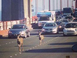 Embouteillage insolite : deux biches traversent le Golden Gate