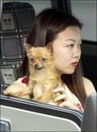 Pour les JO 2008, les bonnes manières des automobilistes progressent à Pékin