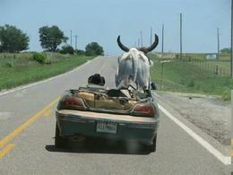 Scène normale : il conduit une Pontiac sans toit avec une vache en passager
