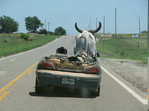 sc ne normale il conduit une pontiac sans toit avec une vache en passager. Black Bedroom Furniture Sets. Home Design Ideas