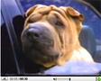 Vidéo: Déplissez le Shar Pei en Audi S6