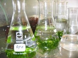ExxonMobil effectue des recherches sur les biocarburants à partir d'algues