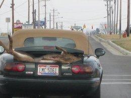 Scène normale : il rentre de la chasse en Mazda MX5 avec un daim dans le coffre