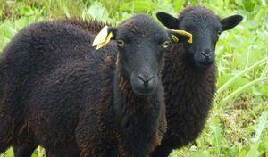 Paris: des moutons le long du périphérique