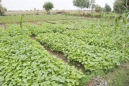Biodiesel : un projet de plantation de jatropha en Inde signé Daimler