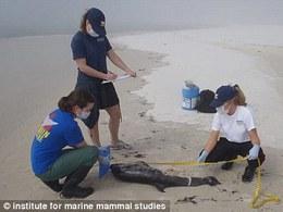 Les scientifiques déroutés par la mort inexpliquée de nombreux dauphins se tournent vers BP pour une explication