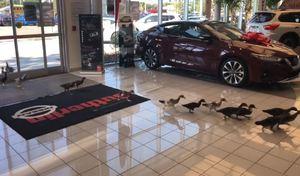 Des canards adoptés par un concessionnaire Nissan