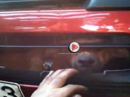 [Vidéo] Proprement hallucinant : il trouve un chien vivant sous son capot après l'avoir heurté