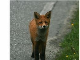 Itinéraire des animaux sauvages : l'Essonne en appelle aux automobilistes