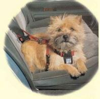 Sécurité routière en Belgique : attachez votre chien en voiture !