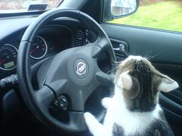 Non, il n'est pas possible de conduire avec 15 chats en liberté dans son habitacle