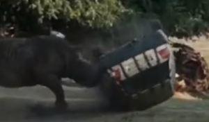 Une Volkswagen Golf malmenée par un rhinocéros