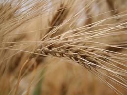 Sécheresse : bétail ou agrocarburant, il faut choisir