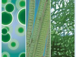 Biocarburants à partir d'algues :  le Département de l'Energie américain investit gros dans la recherche