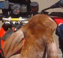 Le motard  ramène le petit veau sur sa moto