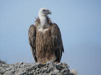 Insolite: un vautour abîme sa voiture, il lance un appel à témoins