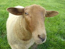 Arrêtés par la police, ils transportaient 5 moutons dans une 205