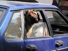 Il laisse son chien enfermé dans la voiture au soleil : les policiers cassent la vitre et le convoquent au tribunal