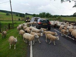Un chauffard décime un troupeau de moutons : l'éleveur devra (aussi) payer une amende