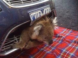 Insolite : un koala incrusté dans un pare-chocs après un choc à haute vitesse, indemne