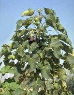 Biodiesel : un arbuste va être une Révolution écologique !