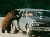 Attiré par un sandwich, un ours se retrouve au volant d'une voiture
