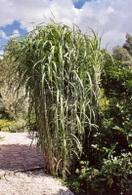 Biomasse : les Miscanthus, une plante productrice d'énergie !