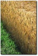 A cause des carburants verts et de la météo, les cours du blé grimpent