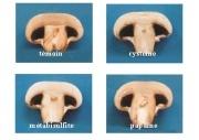 Quel est le lien entre un champignon et le bioéthanol ?