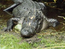 Les Américains se penchent sur un biocarburant à base de graisse d'alligator