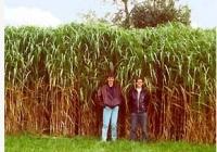 France : une plante championne de la biomasse
