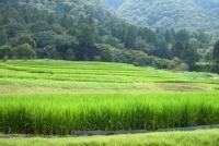 Japon : du biocarburant à partir des parties non comestibles du riz