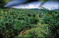 Synergie Drive : l'huile de palme ou l'or vert. Le débat est ouvert.